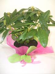 $65 gift wrapped rhododendron
